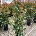 photinia red robin haagplant 125-150 cm
