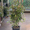 glansmispel haagplant