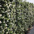 toscaanse jasmijn haag op trellis