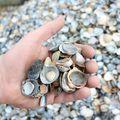 schone schelpen 10 - 20 mm met hand