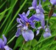 iris-sibirica-1502461051-5_src.jpg
