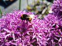Allium bloem