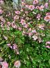 Tuinplanten anemonen borderpakket roze