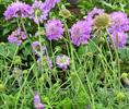 Paars bloeiende vaste planten border