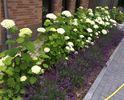 hortensia annabelle hydrangea lavendel