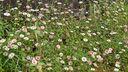 Muurfijnstraal tuinplanten