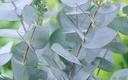 Foto van eucalyptus blad