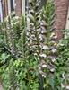 acanthus klantfoto borderpakket