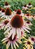 Echinacea tuinplanten border bloeikleur