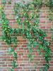 Passiflora klimplant