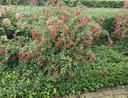 Fuchsia bellenplant borderbeplanting