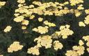 Duizendblad tuinplanten borderpakket
