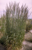 Struisriet tuinplanten borderpakket