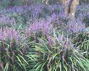 tuinplanten inspiratie leliegras siergras paars bloemen