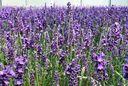 lavendel lavandula hidcote tuinplant ruikt heerlijk