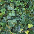 kant en klaar groene schutting hedera helix woerner groenblijvend blad
