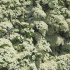 pyracanta haag in bloei