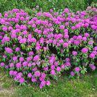 Pontische Rhododendron haag