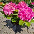 Yarinde's Pontische Rhododendron haag