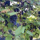 blauwe druif klimplant