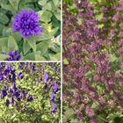 Borderpakket vaste planten paars halfschaduw