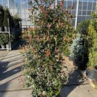 photinia glansmispel haag