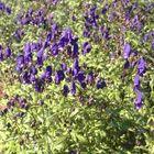 Vaste planten borderpakket paars halfschaduw