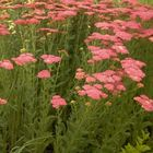Vaste planten borderpakket rood