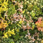 sedum plantjes groen dak