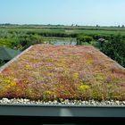 sedum groen dak