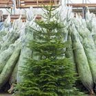 nordmann kerstboom 3 meter