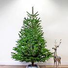echte nordmann kerstboom 200 - 225 cm