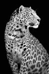 Glasschilderij 120x80cm Leopard zwart-wit