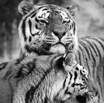 Glasschilderij 50x50cm Tiger