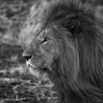 Glasschilderij 50x50cm Lion zwart-wit