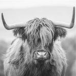 Glasschilderij 50x50cm Buffalo zwart-wit