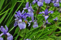 iris-sibirica-1502461051-4_src.jpg