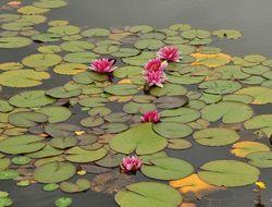 nymphaea-marliaceae-rosea-closeup-1512396257_src.jpg