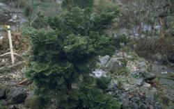Hinoki cipres - Chamaecyparis obtusa 'Nana Gracilis'