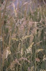Fakkelgras - Koeleria glauca
