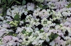 Hortensia - Hydrangea macrophylla 'Hobella'
