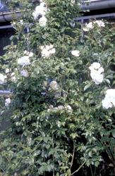 Klimroos - Rosa 'Climbing Schneewitchen'