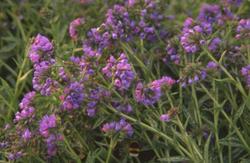 Longkruid - Pulmonaria longifolia