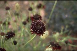 Duifkruid - Scabiosa 'Chile Black'