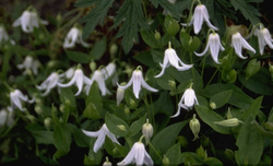 Clematis integrifolia 'Alba'
