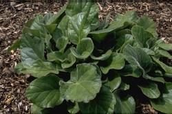 Schoenlappersplant - Bergenia ciliata