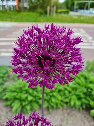 Allium klant foto