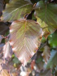 Bruine beuk blad