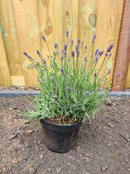 Lavendel tuinplanten smalle borderpakketten