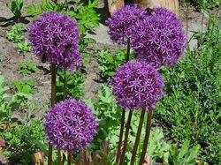 allium bloemen